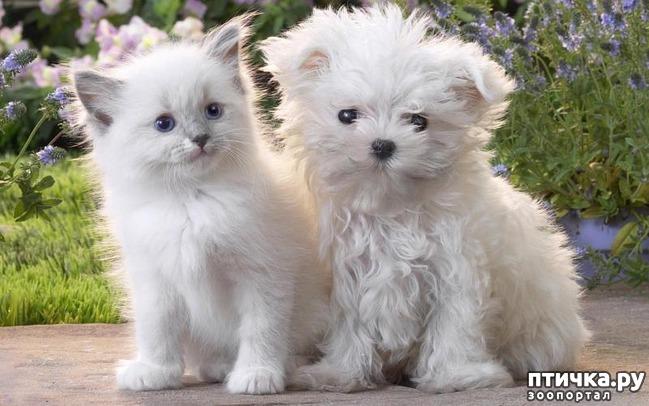 фото 2: Про сиамскую кошку Гиту и собачку Белку