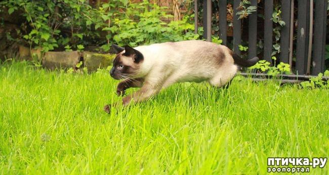 фото 3: Про сиамскую кошку Гиту и собачку Белку