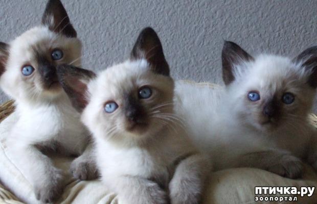 фото 8: Про сиамскую кошку Гиту и собачку Белку