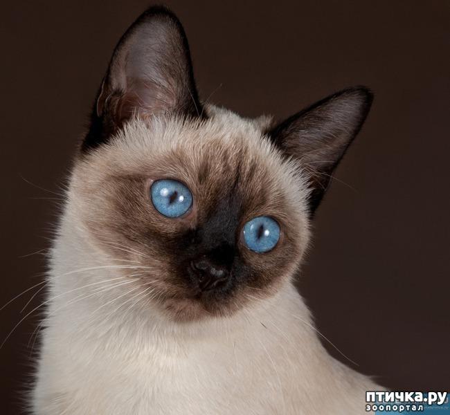 фото 4: Про сиамскую кошку Гиту и собачку Белку