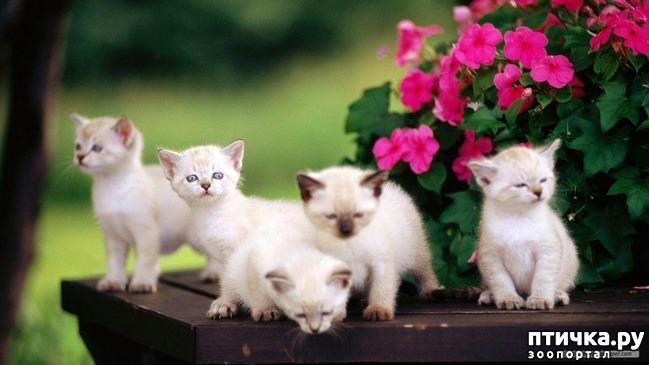 фото 7: Про сиамскую кошку Гиту и собачку Белку
