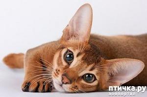 фото: Абиссинская кошка и мои наблюдения