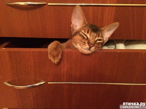фото 1: Абиссинская кошка и мои наблюдения