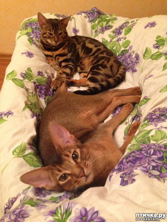 фото 2: Абиссинская кошка и мои наблюдения