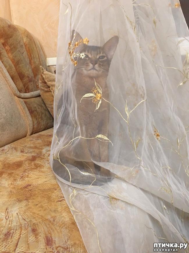 фото 4: Абиссинская кошка и мои наблюдения