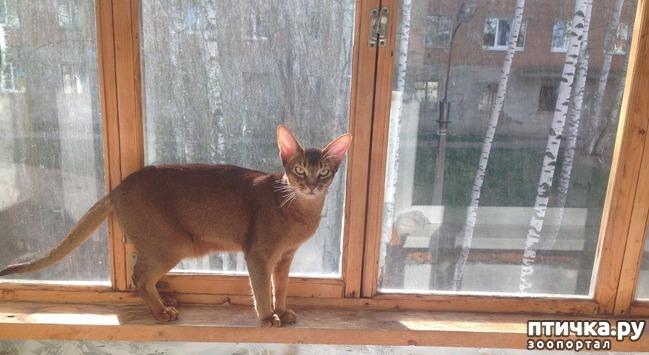 фото 5: Абиссинская кошка и мои наблюдения