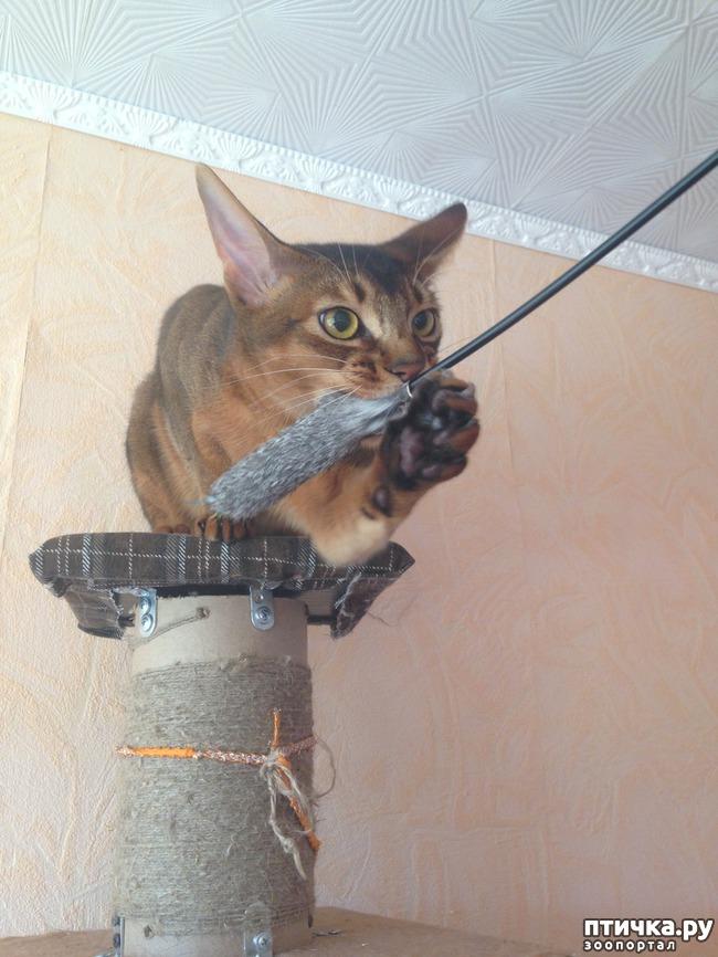 фото 6: Абиссинская кошка и мои наблюдения