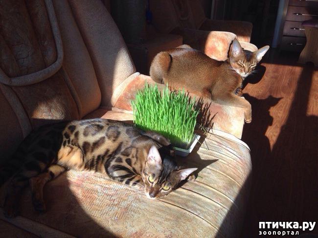 фото 7: Абиссинская кошка и мои наблюдения