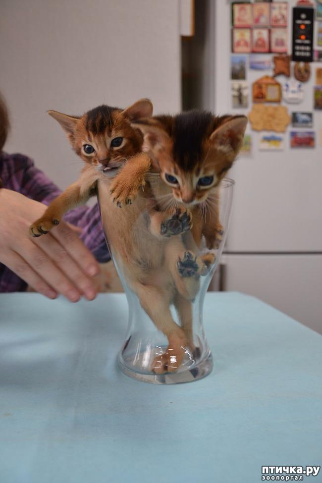 фото 8: Абиссинская кошка и мои наблюдения