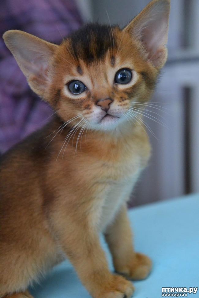 фото 9: Абиссинская кошка и мои наблюдения