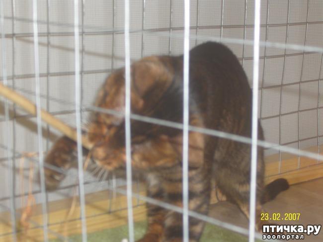 фото 20: Выставка породистых кошек. 27.01.2018г. Саратов.