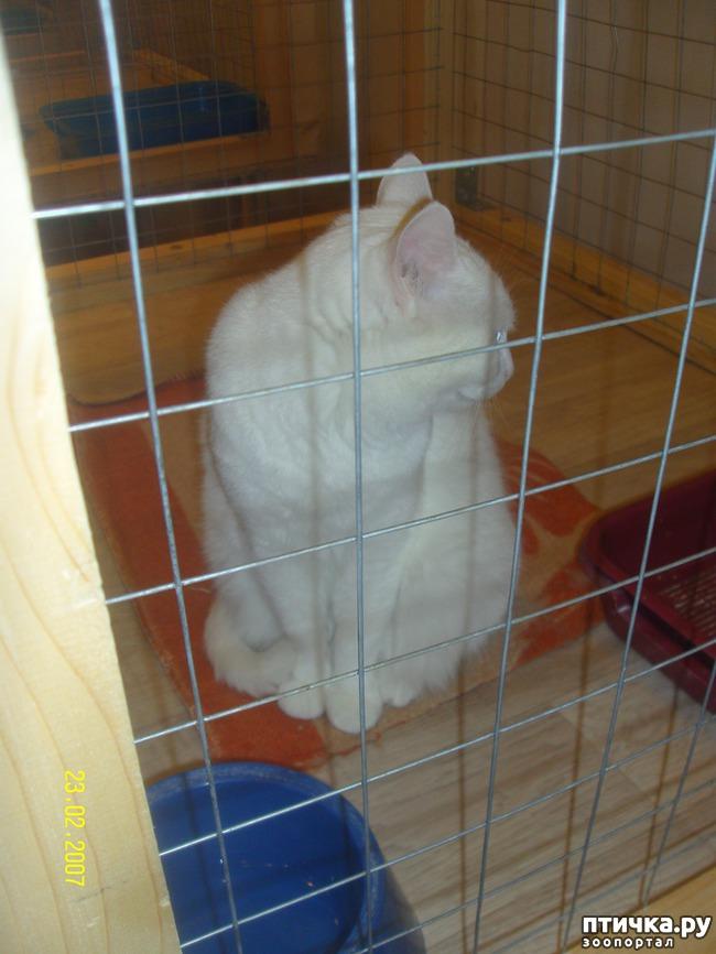 фото 23: Выставка породистых кошек. 27.01.2018г. Саратов.