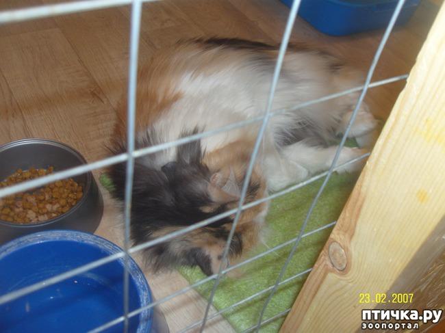 фото 24: Выставка породистых кошек. 27.01.2018г. Саратов.