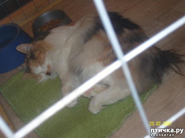 фото 25: Выставка породистых кошек. 27.01.2018г. Саратов.