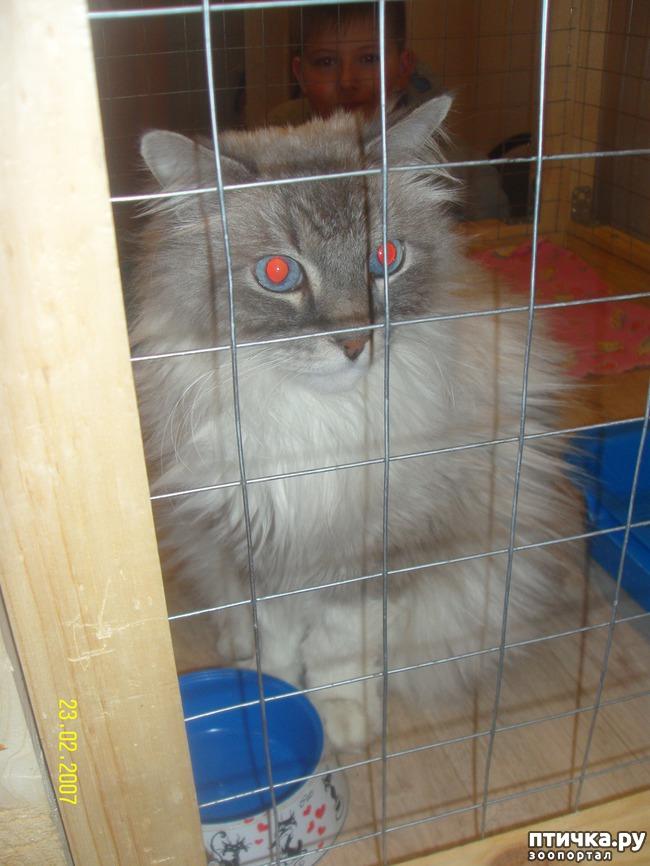 фото 27: Выставка породистых кошек. 27.01.2018г. Саратов.