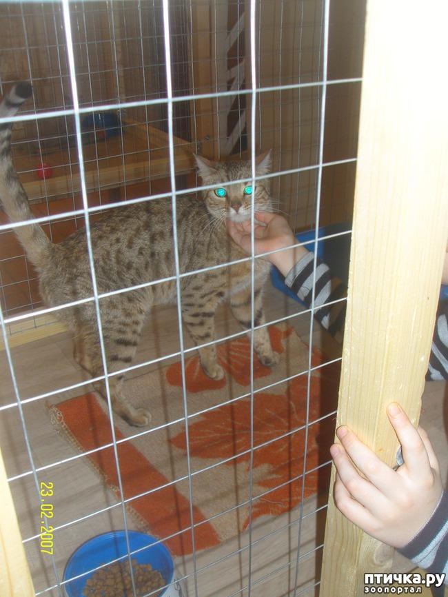фото 7: Выставка породистых кошек. 27.01.2018г. Саратов.