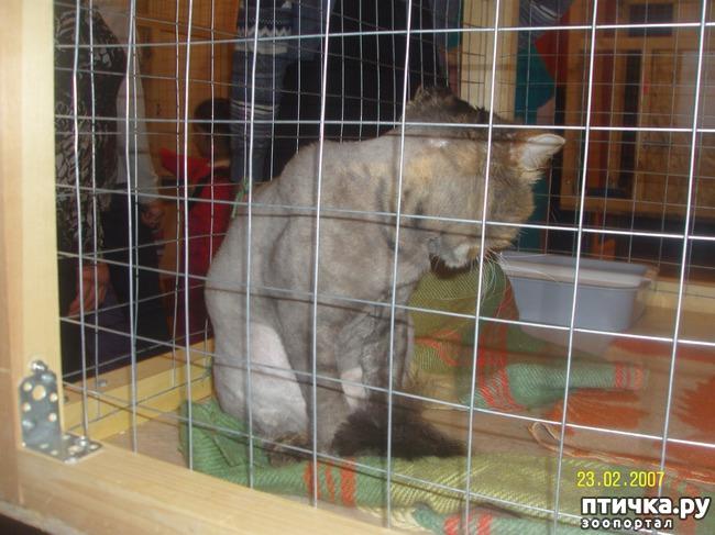 фото 10: Выставка породистых кошек. 27.01.2018г. Саратов.