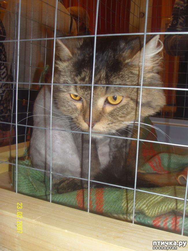 фото 11: Выставка породистых кошек. 27.01.2018г. Саратов.