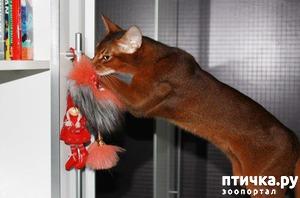 фото: Мои прекрасные абиссинские кошки
