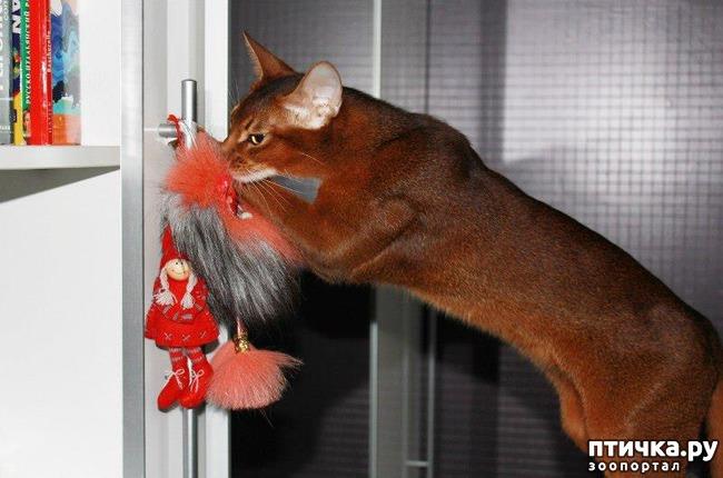 фото 1: Мои прекрасные абиссинские кошки