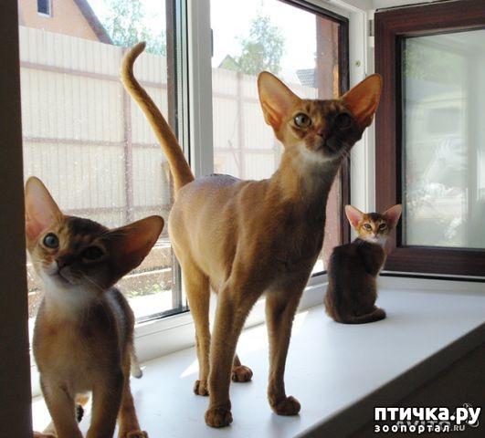 фото 3: Мои прекрасные абиссинские кошки