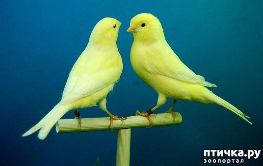 фото 6: Лучшие птицы для содержания дома.