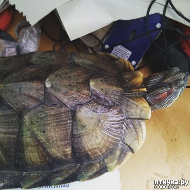 фото 1: Замеры красноухой черепахи