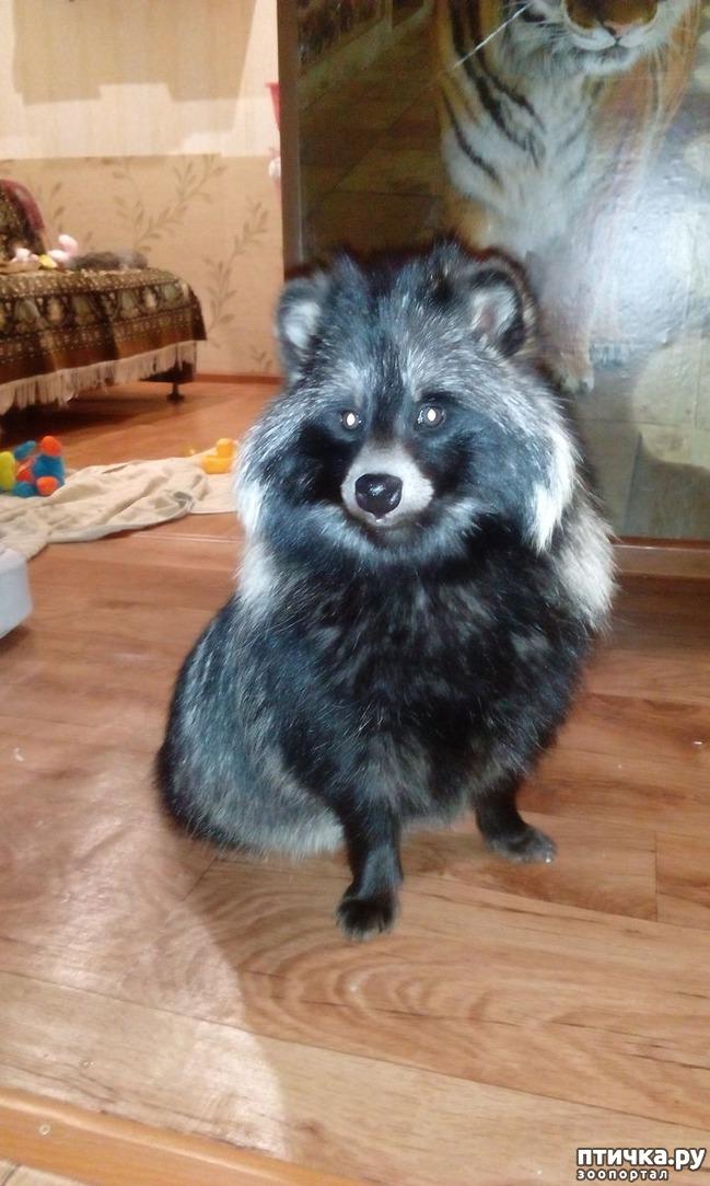 фото 2: Енотовидная собака мой дикий питомец, содержание в квартире