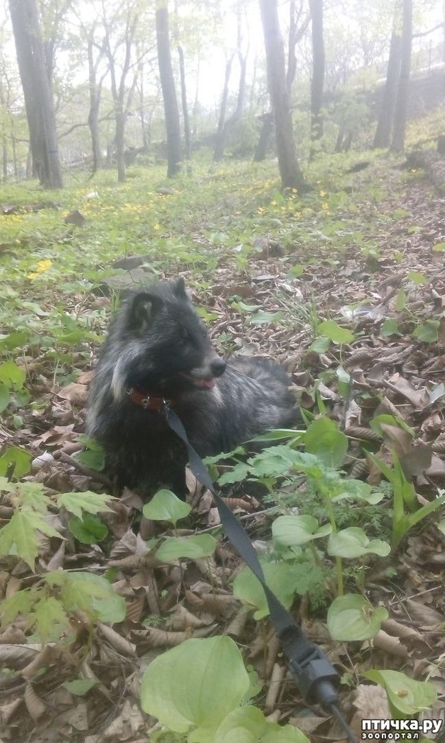 фото 6: Енотовидная собака мой дикий питомец, содержание в квартире