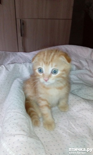 """фото: Крошка Люк """"Шотландская вислоухая кошка (скоттиш фолд)"""","""
