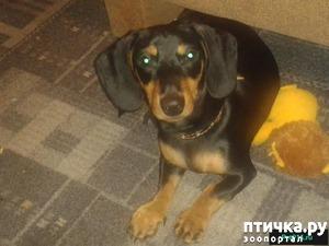фото: Пропала собака. Дополнила. Нашелся!