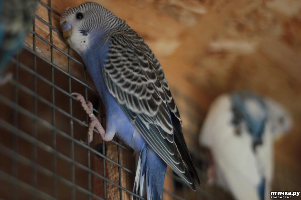 Член птички