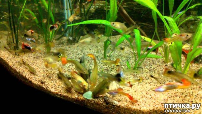 фото 2: Начинающему аквариумисту: Гуппи.