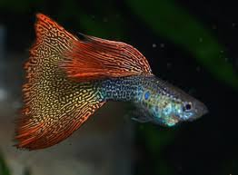 фото: Начинающему аквариумисту: Гуппи.