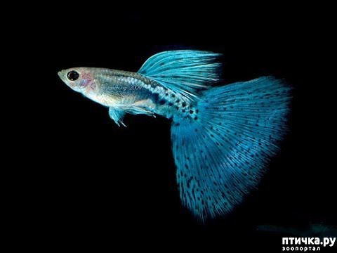 фото 4: Начинающему аквариумисту: Гуппи.