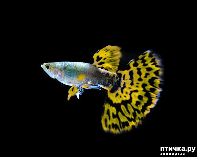 фото 5: Начинающему аквариумисту: Гуппи.