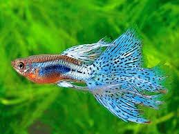 фото 6: Начинающему аквариумисту: Гуппи.