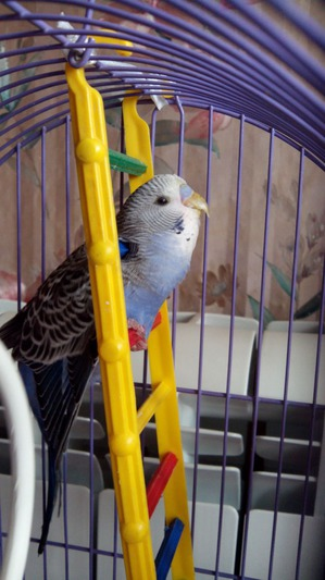 фото: Волнистый попугайчик: Яша и кормушка