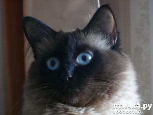 фото: Наша кошка Ася (балинезийская порода)