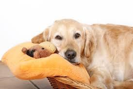 фото: Ложная беременность у собак