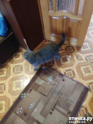 фото: Секрет британского кота Тумана.