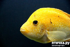 фото: Цихлиды в аквариуме. Знакомство.