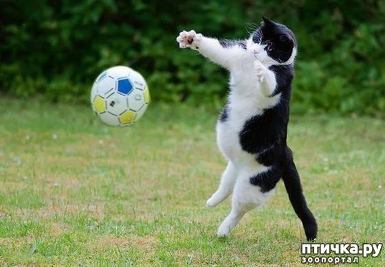 фото 3: Футбол и кот