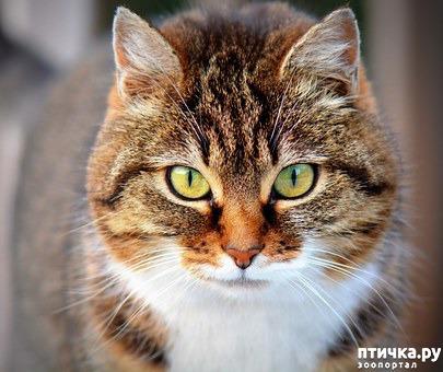 "фото 1: Окрас ""табби"": полосатая генетика, здоровье, характер."