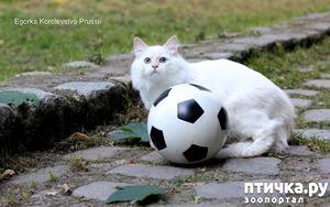 фото: Котята невской маскарадной готовы к ЧМ 2018 :)