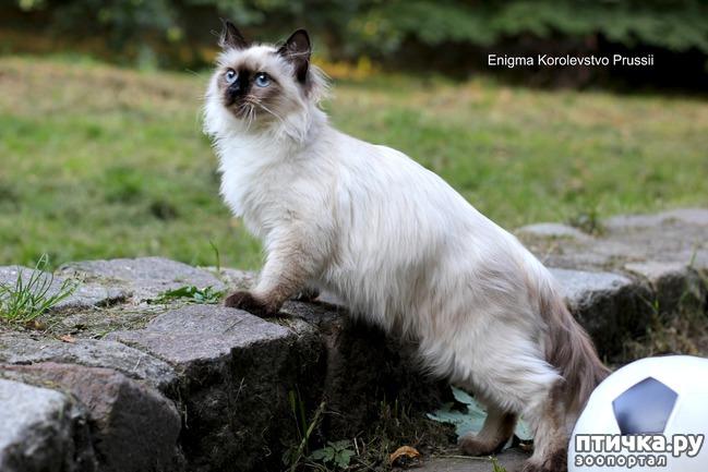 фото 5: Котята невской маскарадной готовы к ЧМ 2018 :)
