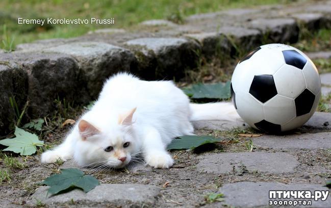 фото 8: Котята невской маскарадной готовы к ЧМ 2018 :)