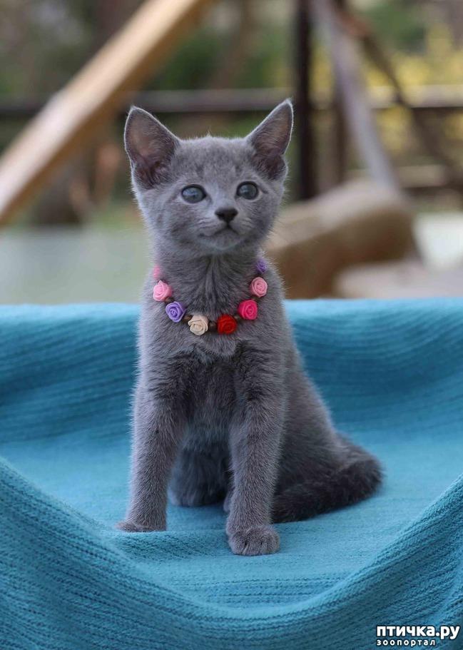 фото 8: Современная русская голубая кошка