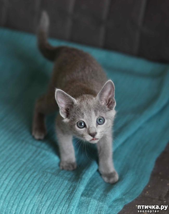 фото 7: Современная русская голубая кошка