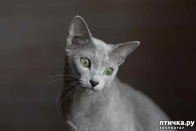 фото 6: Современная русская голубая кошка